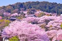 滋賀県 桜の三井寺