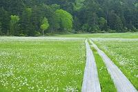 福島県 尾瀬 大江湿原に咲くワタスゲと木道