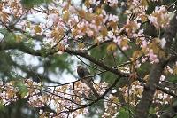 エゾ山桜とヒヨドリ