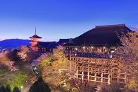 京都府 清水寺 桜のライトアップ(夜の特別拝観)