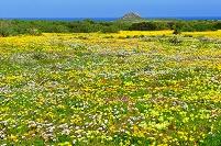 南アフリカ共和国 ウェストコースト国立公園の花園