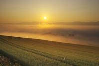 北海道 大雪山の日の出と麦畑と朝霧