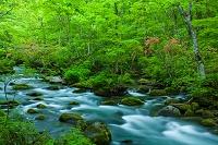 青森県 ヤマツツジ咲く奥入瀬渓流 三乱の流れ