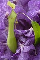 バンダ(紫)とネペンテス(緑)