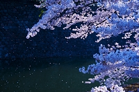 桜田門の桜 朝