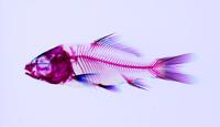 錦鯉 透明骨格標本