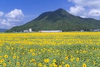 福井県 小浜市 恵みのひまわり畑