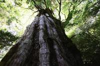 鹿児島県 屋久島の紀元杉