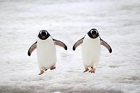 歩いてくるジェンツーペンギン2匹