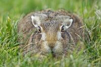 ヤブノウサギ
