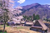 富山県 桜の咲く相倉の合掌造り集落