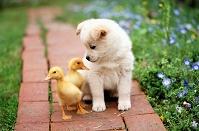 子犬とアヒル
