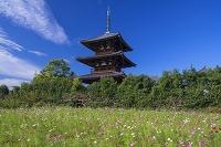 奈良県 コスモスと法起寺