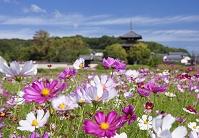 奈良県 コスモス咲く斑鳩の里