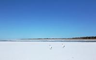 北海道 風連湖の湖上を行くタンチョウ