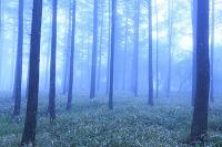 長野県 高ボッチ高原 霧に包まれたカラマツ林