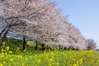 桜並木とナノハナ