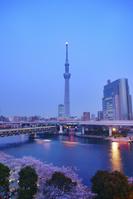 東京都 台東区 隅田公園の桜とスカイツリーと薄暮の月