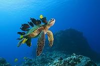 アメリカ 太平洋 アオウミガメと亀の殻を清潔する熱帯魚