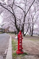 山形県 霞城公園の桜と消化栓