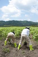 畑の中で作物を収穫する子供