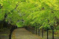 京都府 光明寺 新緑の参道と薬医門