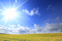北海道 美瑛町 ヒマワリ畑と太陽