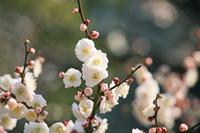 日本 舞鶴公園の梅