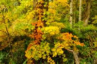 青森県 白神山地 紅葉の風景