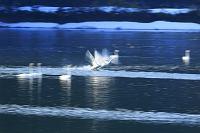 新潟県 飛翔する白鳥 スローシャッター 大谷地堤