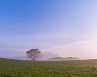 岩手県 朝もやの小岩井農場 一本桜