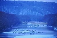 北海道 静寂の雪裡川に眠るタンチョウ鶴の群れ