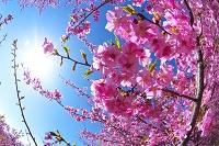 河津桜と太陽