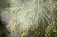 スギ 雄花 花粉を飛ばす