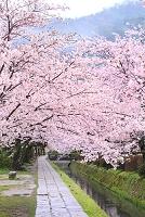 京都府 哲学の道 朝の桜並木と雨上がりの山並み