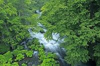 北海道 阿寒川と新緑
