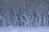 北海道 冬の野付半島の雪のナラワラ
