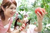 トマトを収穫する日本人親子