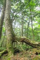山梨県 富士山原生林の樹木
