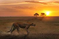タンザニア セレンゲティ国立公園 チーター