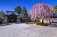 京都府 しだれ桜咲く高台寺庭園
