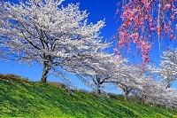 東京都 桜並木