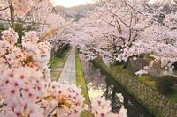 京都府 哲学の道 朝焼けに染まる疎水沿いの関雪桜並木