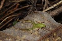 葉の裏で越冬するワカバグモ