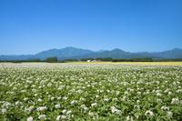 北海道 ジャガイモの花と日高山脈