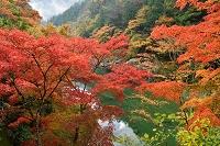 徳島県 三次市 祖谷渓の紅葉