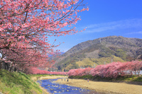静岡県 朝の河津川沿いの河津桜並木