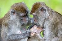 マレーシア バコ国立公園 カニクイザル