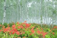 長野県 八千穂高原 レンゲツツジと霧に包まれたシラカバ林