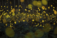 兵庫県 森の中を乱舞するヒメボタルの光跡